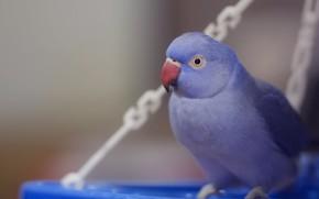 Картинка голубой, птица, попугай