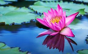 Картинка цветы, озеро, лотос, pink, flowers, lake, lotus, кувшинки, water lily