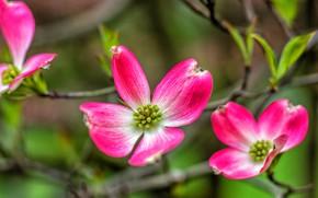 Картинка макро, ветки, лепестки, цветки, кизил
