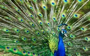 Картинка птица, перья, хвост, павлин, взмах, раскрытый, веером, взмах хвостом