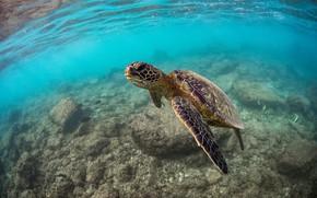 Картинка море, черепаха, подводный мир, морская