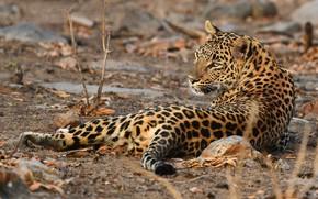 Картинка взгляд, поза, леопард, лежит, дикая кошка