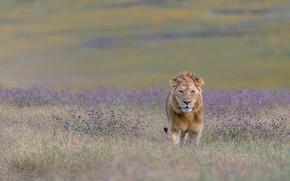 Картинка лев, саванна, lion, savannah, hong chen