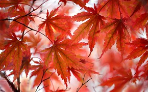 Картинка осень, листья, багрянец