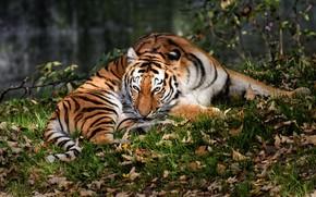 Картинка осень, трава, взгляд, листья, природа, тигр, поза, листва, лапы, лежит