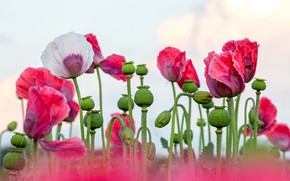 Картинка цветы, маки, розовые, белые, светлый фон, маковое поле