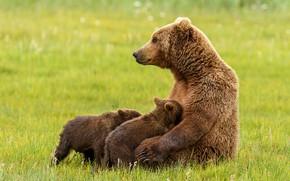 Картинка трава, поза, поляна, медведь, медведи, профиль, малыши, медвежата, сидит, мама, медведица
