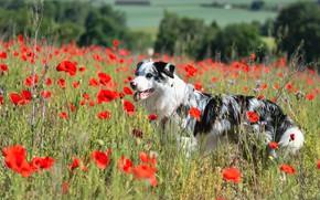 Картинка поле, язык, лето, цветы, природа, маки, черно-белая, собака, луг, красные, прогулка, пёстрая, маковое поле, аусси