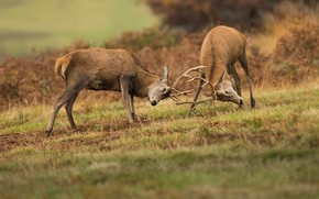 Картинка природа, олень, пара, рога, битва, олени, схватка, два, соперники, самцы