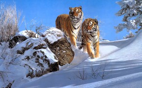 Картинка зима, снег, пара, тигры, два, два тигра, Simon Combes