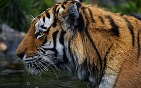 Картинка морда, фон, Тигр