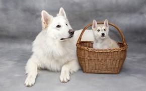 Картинка собаки, взгляд, корзина, две, собака, малыш, щенок, лежит, белая, серый фон, парочка, корзинка, дуэт, фотосессия, …