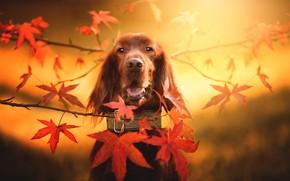 Обои осень, взгляд, морда, листья, ветки, фон, собака