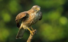 Картинка птица, хищник, ветка, сарыч