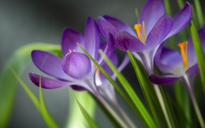 Картинка листья, макро, весна, Крокусы, Шафран