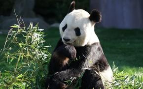 Картинка трава, морда, листья, природа, поза, улыбка, поляна, лапа, портрет, бамбук, медведь, панда, сидит, зоопарк, выражение, …