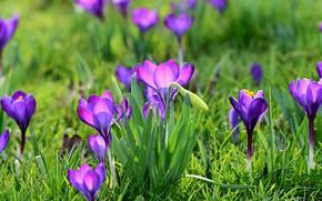 Картинка зелень, поляна, весна, крокусы, бутоны, сиреневые