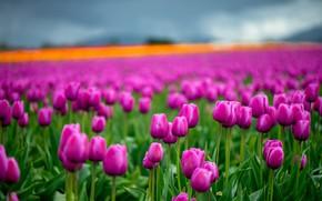 Картинка зелень, небо, облака, цветы, яркие, весна, тюльпаны, розовые, бутоны, много, боке, размытый фон, плантация, тюльпановое …