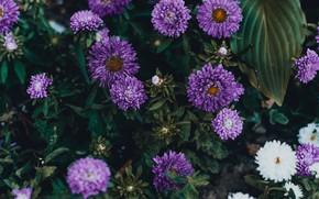 Картинка листья, цветы, темный фон, куст, сад, фиолетовые, белые, много, сиреневые, осенние, астры, махровые