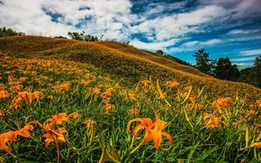 Картинка поле, небо, облака, цветы, синева, заросли, холмы, лилии, холм, луг, Азия, оранжевые, цветение, много, плантация, …