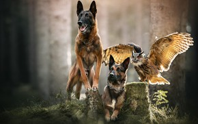Картинка лес, собаки, взгляд, свет, поза, интерес, сова, птица, две, пень, крылья, пасть, ошейник, трио, друзья, …
