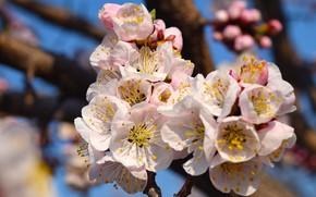 Картинка весна, цветет, абрикос, цветы весна