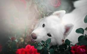 Картинка взгляд, морда, листья, свет, цветы, ветки, фон, портрет, розы, собака, сад, щенок, красные, белая, ракурс, …