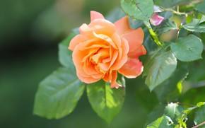 Картинка листья, роза, оранжевая