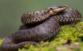 Картинка трава, взгляд, фон, змея, свернулась