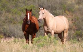 Картинка поле, лето, трава, природа, конь, лошадь, две, кони, лошади, пара, две лошади
