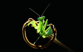 Картинка взгляд, макро, свет, поза, зеленый, растение, лапки, богомол, стебель, насекомое, черный фон