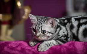 Картинка кошка, кот, взгляд, поза, котенок, фон, сиреневый, портрет, лапы, ткань, лежит, котёнок, мордашка, полосатый, помещение, ...
