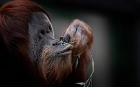 Картинка природа, фон, обезьяна