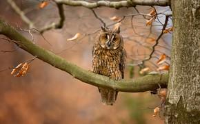Картинка осень, взгляд, листья, ветки, природа, фон, дерево, сова, птица, филин, пестрый