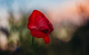 Картинка лето, цветы, красный, маки