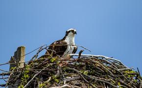 Картинка небо, взгляд, птица, гнездо, Osprey