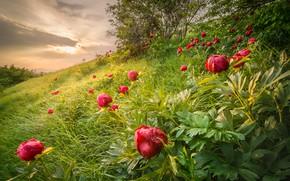 Картинка лето, трава, деревья, пейзаж, цветы, природа, склон, пионы, Болгария