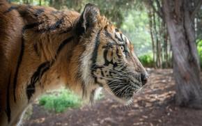 Картинка тигр, хищник, профиль