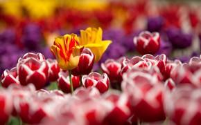 Картинка цветы, природа, весна, тюльпаны