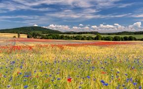 Картинка поле, лес, лето, небо, облака, цветы, синева, маки, луг, васильки