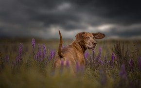 Картинка поле, лето, небо, трава, взгляд, морда, цветы, тучи, природа, поза, пасмурно, собака, луг, хвост, прогулка, …