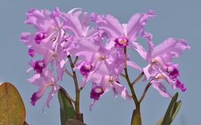 Картинка фото, Цветы, Фиолетовый, Орхидеи