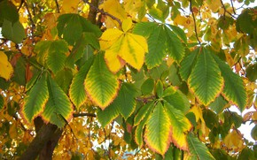 Картинка осень, листья, каштан, Meduzanol ©
