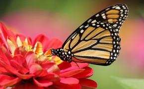 Картинка цветок, макро, фон, бабочка, Цинния, Данаида монарх