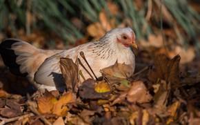 Картинка осень, трава, взгляд, листья, природа, птица, курица, осенние, бежевая, пестрая, курочка, кура, наседка