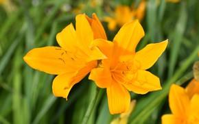 Картинка листья, цветы, яркие, лилии, желтые, лепестки, сад, оранжевые, боке, лилейники