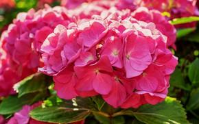 Картинка лето, листья, цветы, крупный план, розовая, лепестки, цветение, соцветия, гортензия, яркая