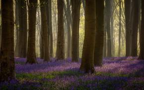 Картинка лес, свет, деревья, ветки, стволы, поляна, весна, сиреневые цветы