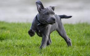 Картинка природа, поза, серый, голубой, собака, щенок, прогулка, стаффорд