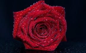 Картинка капли, макро, роза, красная
